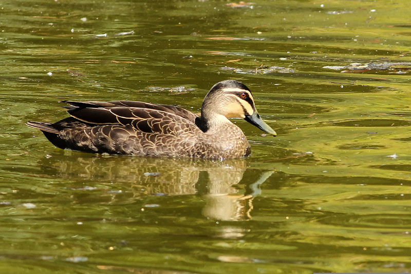 Pacific Black Duck, Royal Botanic Gardens, Sydney, Australia