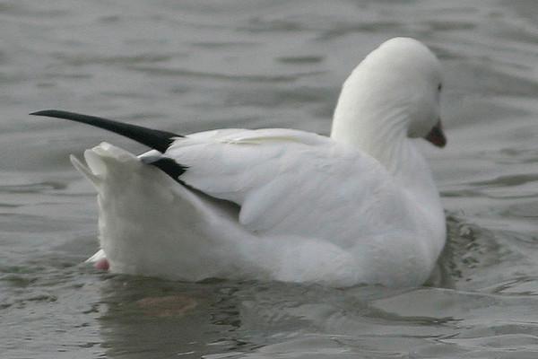 Ross's Goose<br /> Chaparral Park, Scottsdale, AZ