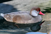 Red Crested Pochard, Lake Zurich, Switzerland