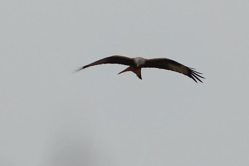Red Kite, Lake Flachsee, Switzerland