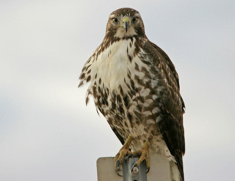 Red-Tailed Hawk, near Arizona City, AZ