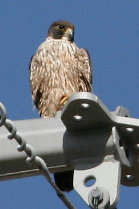 Peregrine Falcon, Gilbert, AZ