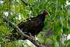 Turkey Vulture, Occoquan Bay NWR, VA