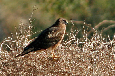 Northern Harrier, Gilbert, AZ