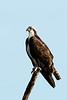Osprey, Three Lakes WLMA, Osceola County, FL