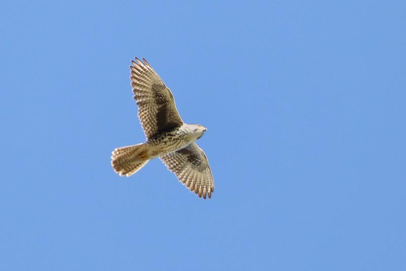 Prairie Falcon, Santa Teresa County Park, San Jose, CA