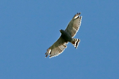 Gray Hawk, San Pedro National Riparian Conservation Area, AZ
