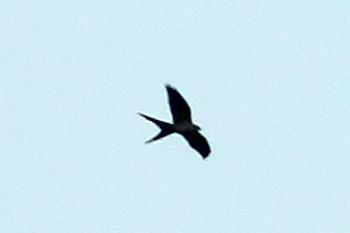 Swallow-tailed Kite, ThreeLakes WMA, Osceola County, FL