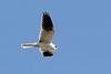 White-tailed Kite, Santa Teresa County Park, Santa Clara, CA