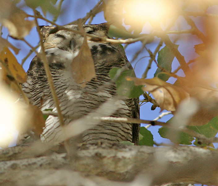 Great-Horned Owl<br /> Desert Botanical Garden, Phoenix, AZ