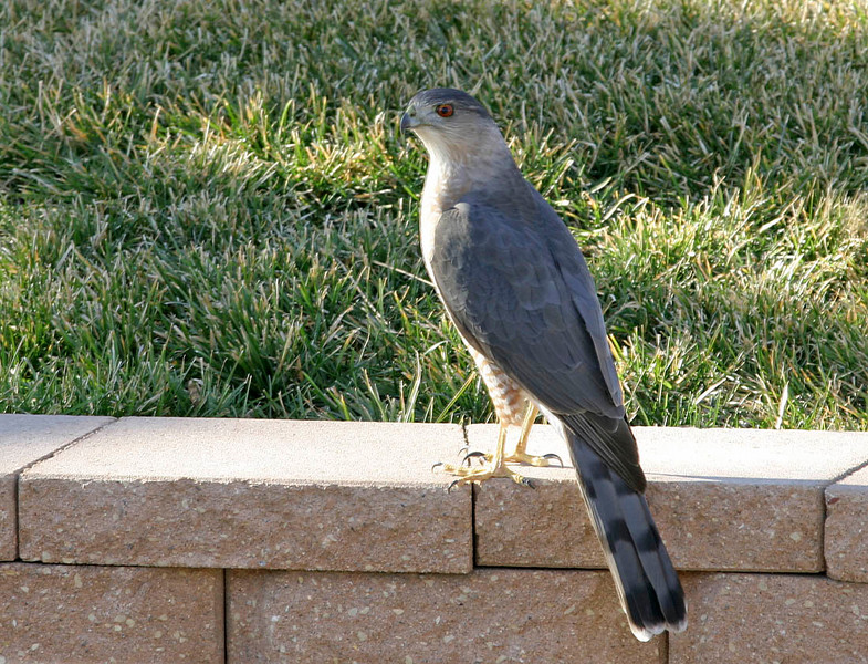 Sharp-Shinned Hawk<br /> Omaha, NE