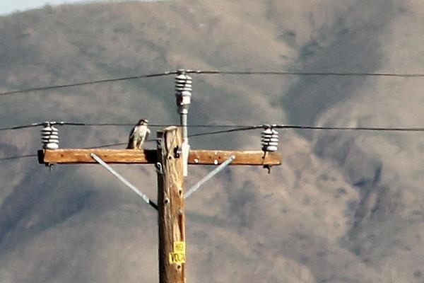 Prairie Falcon, Panoche Valley, San Benito County, CA