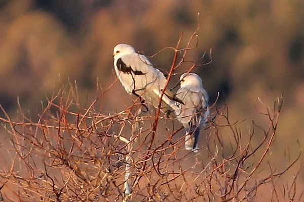 White-tailed Kites, Charleston Slough, Mountain View, CA