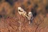 White-tailed Kites, Charleston Slough, Mountain View, CA
