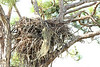 Bald Eagle Nest, Osceola County, FL