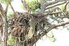 Bald Eagle Nest, Osceola County, FL