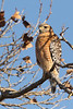 Red-shouldered Hawk, Santa Clara County, CA