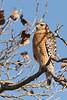 Red-shouldered Hawk, Santa Clara County, CA