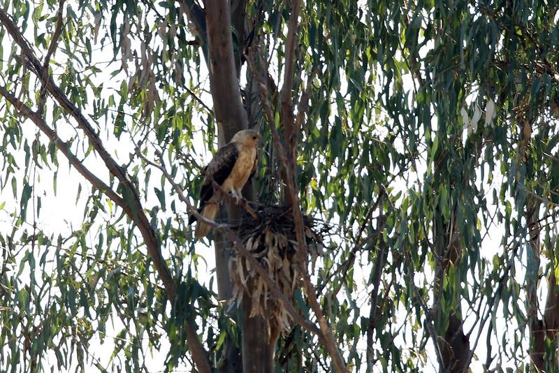 Whistling Kite (juvenile)