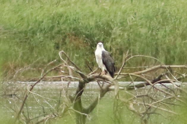 White-bellied Sea-eagle, Pitt Town Lagoon, New South Wales, Australia
