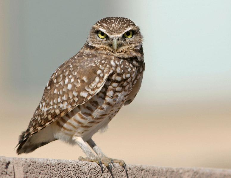 Burrowing Owl, Maricopa, AZ