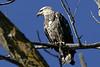 Bald Eagle - immature, Council Bluffs, IA