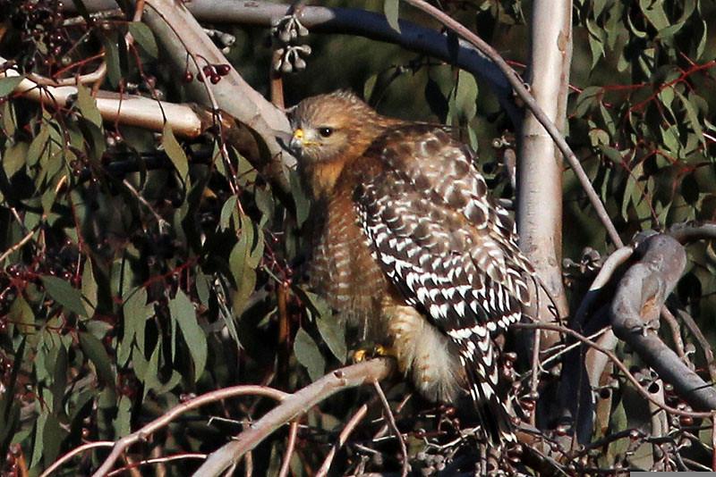 Red-shouldered Hawk, Santa Teresa County Park, San Jose, CA