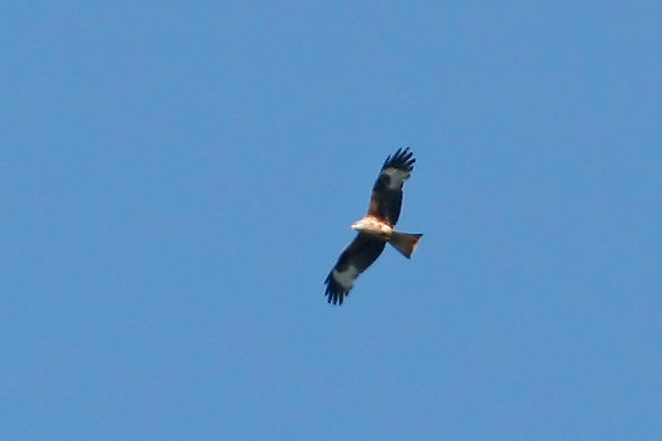Red Kite, Wraysbury, UK