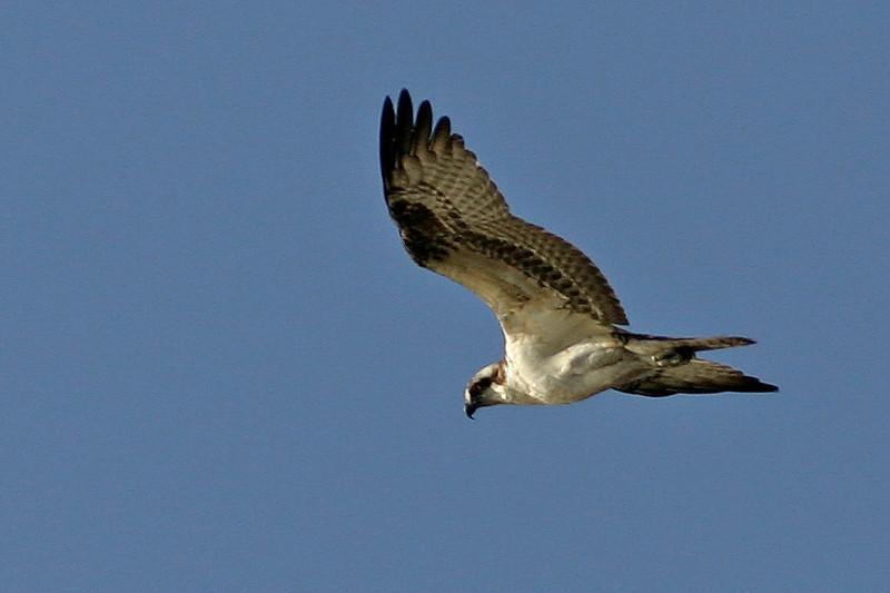 Osprey<br /> Gilbert, AZ
