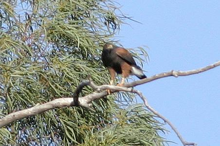 Harris's Hawk, Tucson, AZ