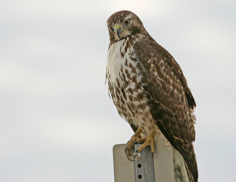 Red-Tailed Hawk, near Arizona City, AZ