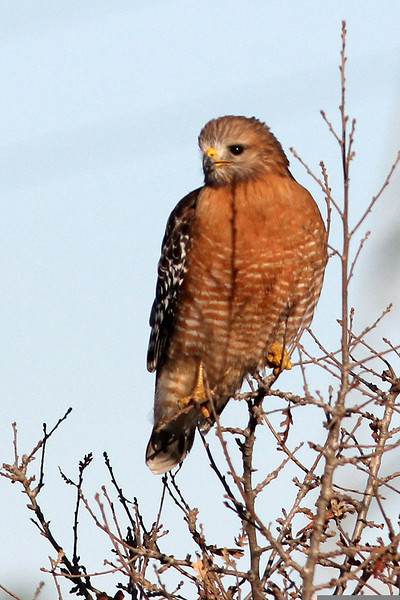Red-shouldered Hawk, Santa Teresa County Park, San Jose, CA
