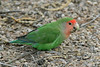Peach-Faced Lovebird, Gilbert, AZ