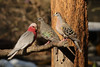 Galah (left) and Common Bronzewing (right)