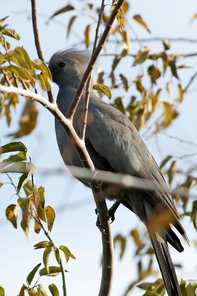 Grey Go-Away Bird, Gilbert, AZ