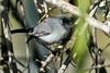 Blue-Gray Gnatcatcher, Sweetwater Wetlands, Tucson, AZ