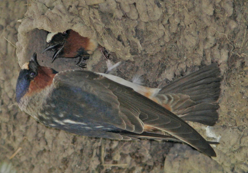 Cliff Swallow<br /> Nisqually NWR, WA