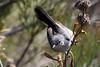 California Gnatcatcher, Mission Trails Regional Park, San Diego County, CA