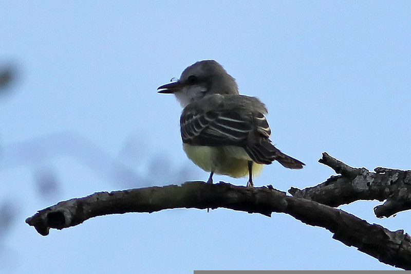 Couch's Kingbird, Santa Ana National Wildlife Refuge, TX