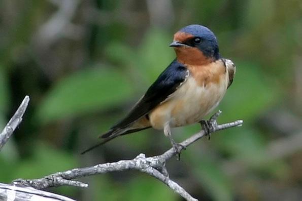 Barn Swallow<br /> Agassiz NWR, MN