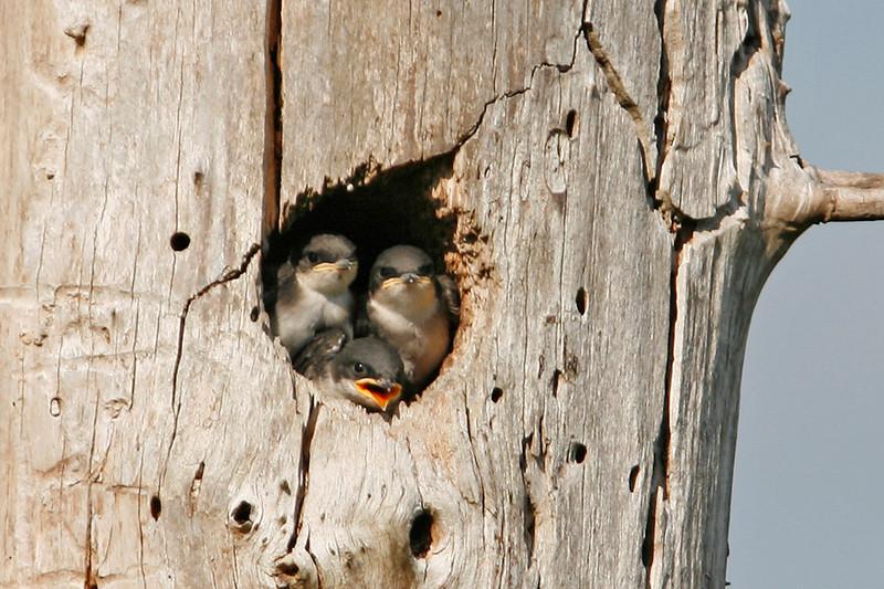 Tree Swallows (Juvenile), Juanita Park, Kirkland, WA