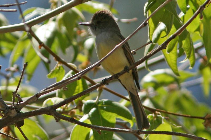 Dusky-Capped Flycatcher, Madera Canyon, AZ