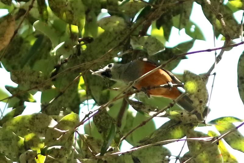 Black-faced Monarch, Royal National Park, New South Wales, Australia