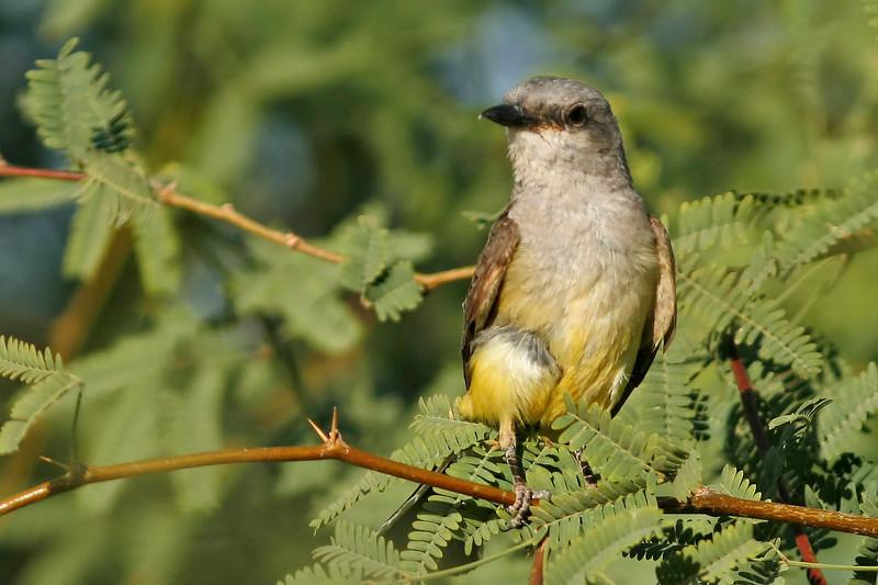 Western Kingbird, Gilbert, AZ