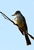Ash-Throated Flycatcher, Rancho Canada del Oro OSP, Santa Clara County, CA