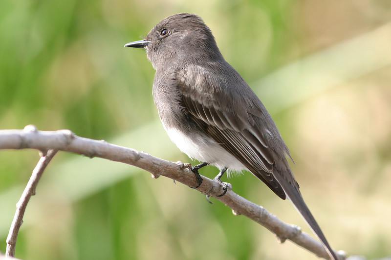 Black Phoebe<br /> Sweetwater Wetlands, Tucson, AZ