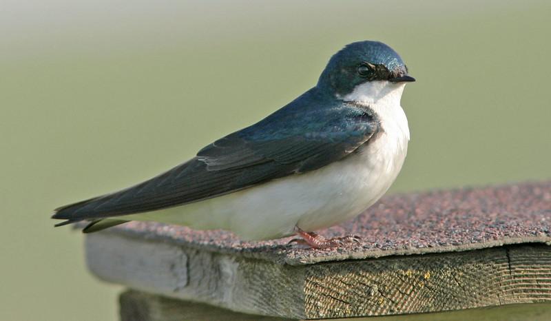 Tree Swallow<br /> Walnut Creek Lake, NE