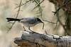 Black-tailed Gnatcatcher, near Tucson, AZ