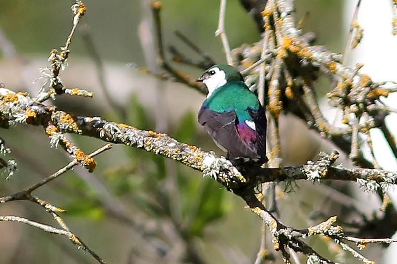 Violet-Green Swallow, Rancho Canada del Oro OSP, Santa Clara County, CA