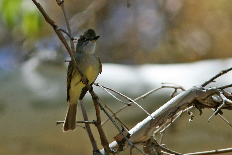 Brown-Crested Flycatcher, Madera Canyon, AZ